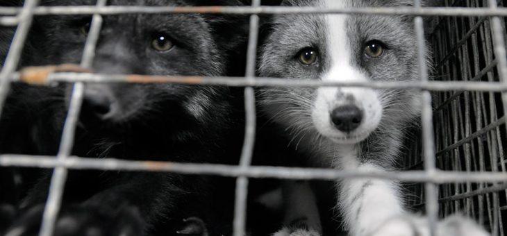 Zakaz hodowli zwierząt na futra oraz trzymania psów na łańcuchach.
